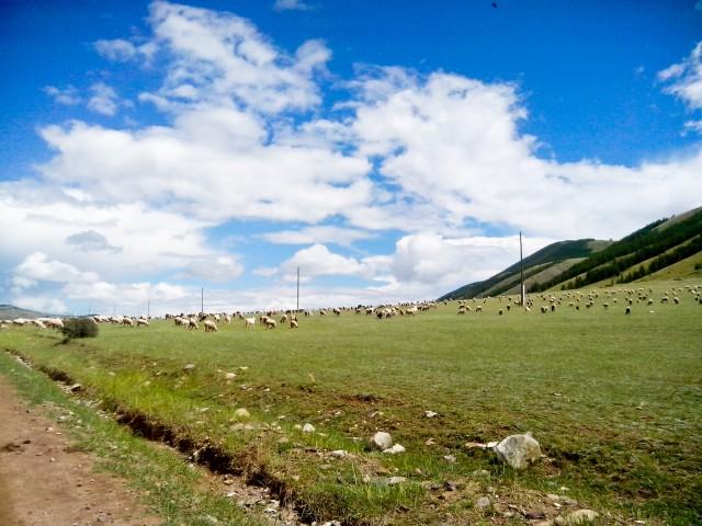 Овцы в Тыве