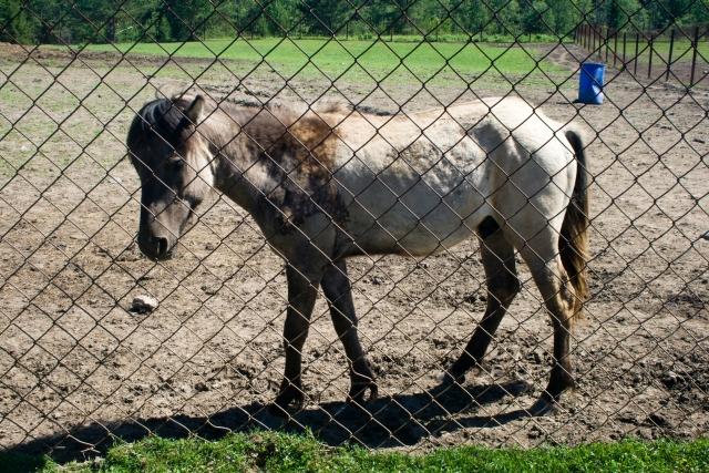 Страусиная и оленья ферма Якутская лошадь