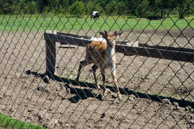 Страусиная и оленья ферма Пятнистый олень