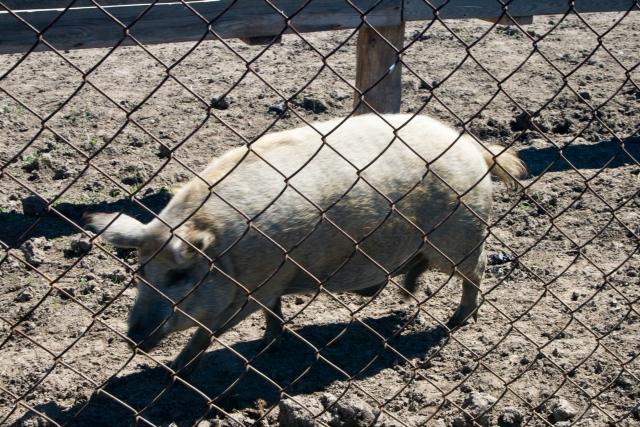 Страусиная и оленья ферма Свинья