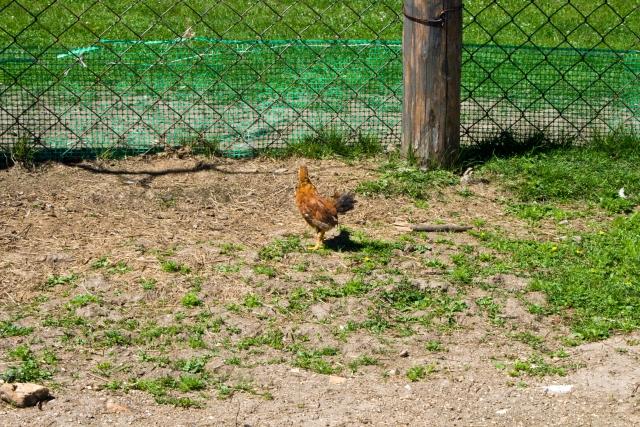 Страусиная и оленья ферма Курицы