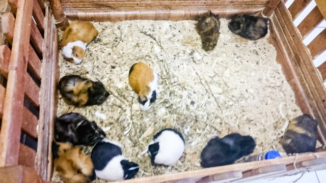 Контактный зоопарк Лесное посольство Морские свинки