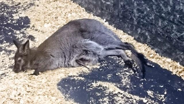 Контактный зоопарк Лесное посольство Кенгуру