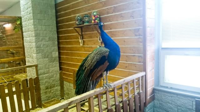 Контактный зоопарк Лесное посольство Павлин