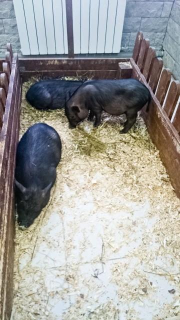 Контактный зоопарк Лесное посольство Свиньи