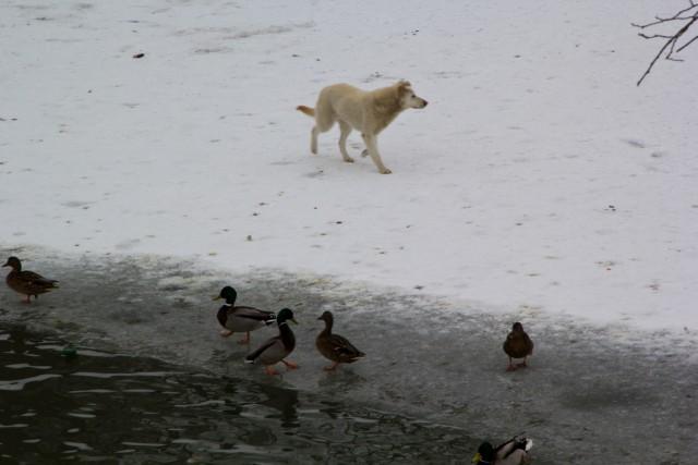 Пруд с утками в Уфе
