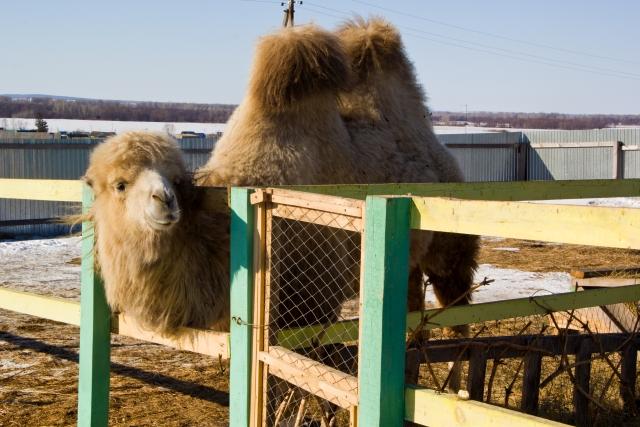 Страусиная ферма Верблюд