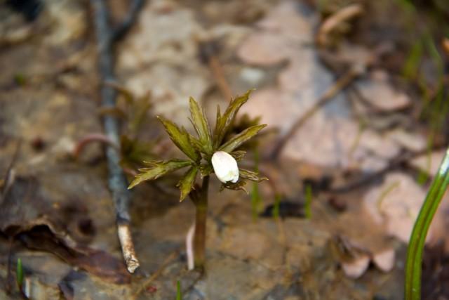 Белый лесной цветок