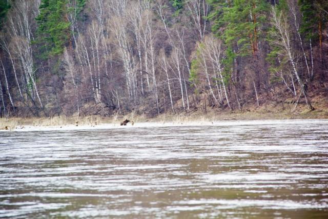 Лось переплывает реку Белая