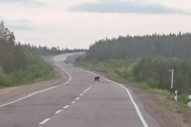 Медвеженок на трассе Лена