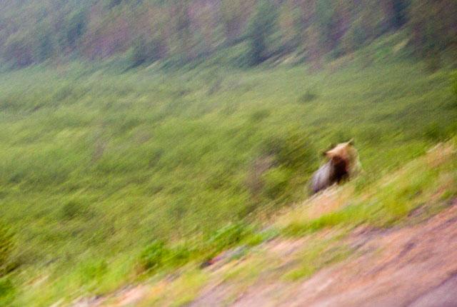 Медведи на трассе Лена