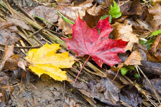 Красный и желтый листья
