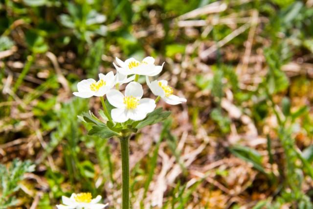 Цветок на Отортене