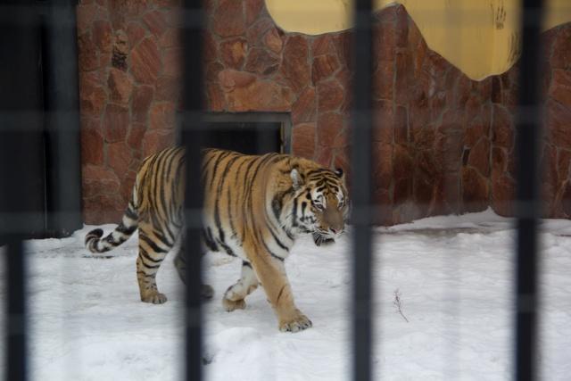 Амурский тигр Воронежский зоопарк