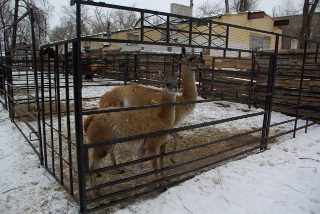 Ламы Воронежский зоопарк
