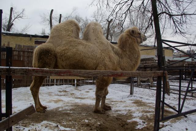 Верблюд Воронежский зоопарк