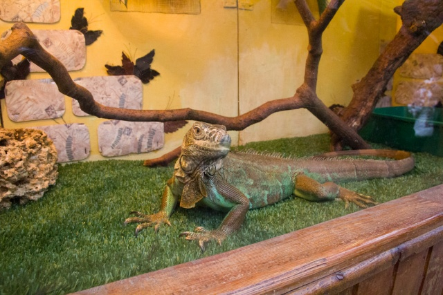 Зеленая игуана Воронежский зоопарк