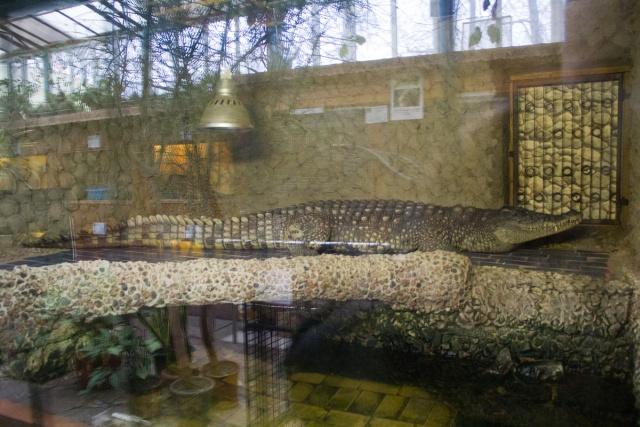 Нильский крокодил Воронежский зоопарк
