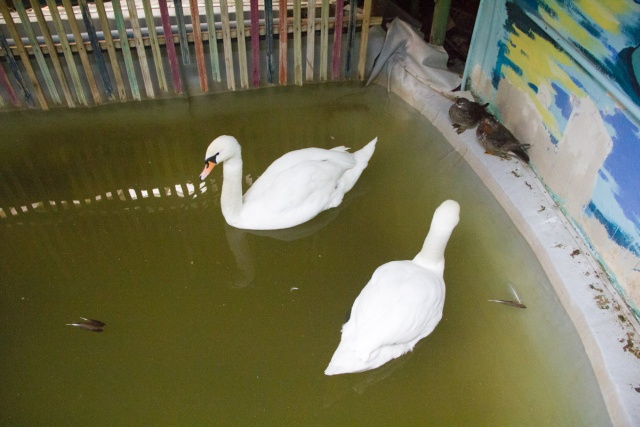 Лебеди Воронежский зоопарк