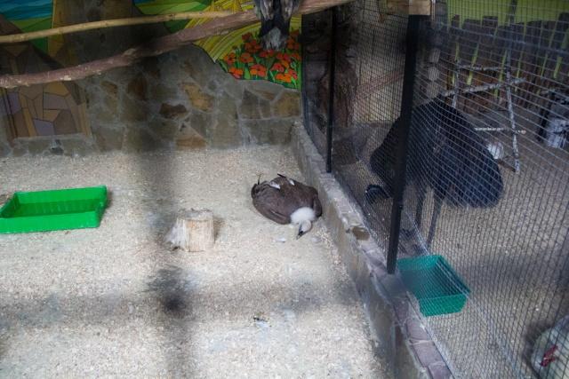 Канюк Воронежский зоопарк