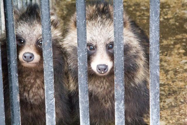 Еноты Воронежский зоопарк
