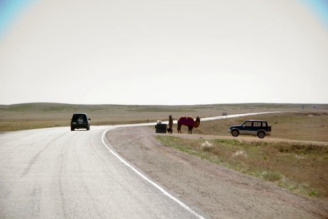 Автодорога М36 верблюд
