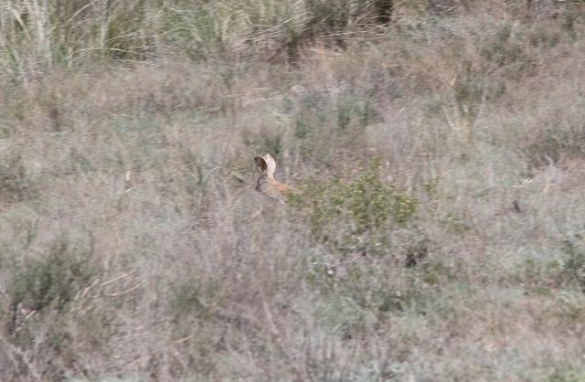 Заяц в национальном парке Алтын-Эмель