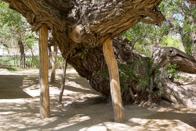 700-летняя ива в национальном парке Алтын-Эмель