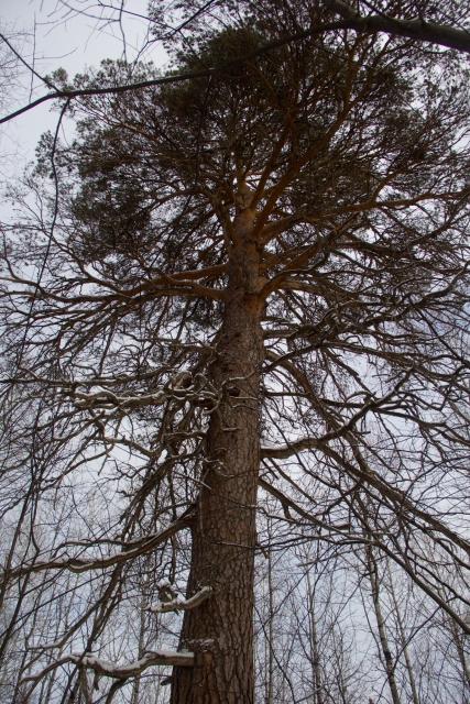 300летняя сосна Оленьи ручьи